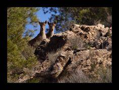 A young pair of wild Iberian Ibex, near Oria Almeria, Spain.