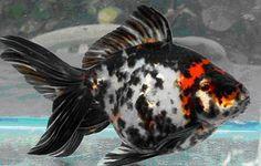 This fantail clearly means business Comet Goldfish, Fantail Goldfish, Goldfish Pond, Goldfish Species, Japanese Koi, Koi Carp, Underwater Life, Beautiful Fish, Aquarium Fish