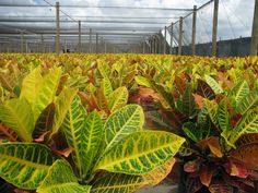 Crotons have been popular in tropical gardens for centuries. Crotons grow into shrubs and small trees in their native habitats of India, Malaysia, and some of the South Pacific islands. Few other plants can surpass them in both foliage color and leaf shape variation. Leaf colors range from reds, oranges and yellows to green with all combinations of variegated colors.