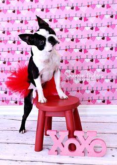 #Valentine's Day #dog Boston Terrier #pink ToniK ⒷMine