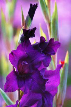 Purple Magestic Gladiolas