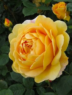Golden Celebration | fragrant, yellow rose