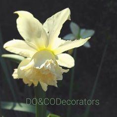 Zonnige Zondag in April. Sunny Sunday in April. #sunday #zondag #zonnigedag #sunny #garden #yellow #green #inspiratie #narcissus #happysunday #njoy #buren @doencodecorators