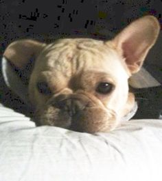"""""""Did you hear that?"""", nervous French Bulldog❤️"""