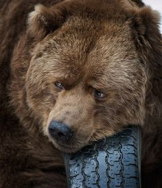 Into The Wild: Dangerous Animals Wildlife Photography Animals Of The World, Animals And Pets, Funny Animals, Cute Animals, Wildlife Photography, Animal Photography, Cute Bear, Big Bear, Photo Animaliere