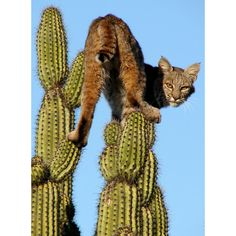 A bobcat in a spot of bother after running from a pack of wild dogs and climbing to the top of a prickly 15ft-high saguaro cactus. Photograph by Paco Espinoza - Navojoa, Sonora, Mexico.