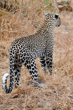 Can you tell the difference between a Leopard and a cheetah fur parttern? Leopards have well defined black and brown rossettes while cheetahs have spots. Define Black, Big 5, Cheetahs, Leopards, Big Cats, Kenya, Animals Beautiful, Habitats, Black And Brown