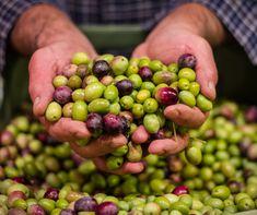 Fresh Olives from Crete Crete, Olive Oil, Fruit, Olives, Food, Essen, Meals, Yemek, Eten