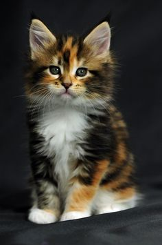65 Ideas Cats Breeds Calico Maine Coon For 2019 Cute Cats And Kittens, Baby Cats, Cool Cats, Kittens Cutest, Fluffy Kittens, Pretty Cats, Beautiful Cats, Animals Beautiful, Cute Baby Animals