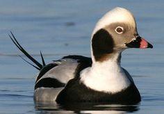 Waterfowl Oldsquaw (Clangula hyemalis ) northern Atlantic regions of Alaska, Canada, Europe and Russia