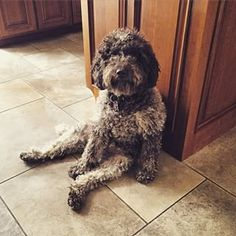 Lagotto Romagnolo. Here's a dog that sits just like Trefa.