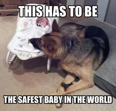 Wicked Training Your German Shepherd Dog Ideas. Mind Blowing Training Your German Shepherd Dog Ideas. Funny Dog Memes, Funny Animal Memes, Cute Funny Animals, Funny Dogs, German Shepherd Memes, German Shepherd Puppies, Funny German Shepherds, I Love Dogs, Cute Dogs