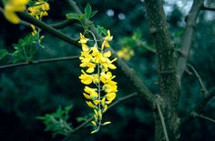 Find help & information on Laburnum × watereri 'Vossii' Voss's laburnum from the RHS Planting Plan, Poisonous Plants, Deciduous Trees, Climbers, Garden Styles, Horticulture, Garden Plants, Shrubs, Perennials