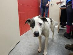 6/7/15-Meet Lucky, a Petfinder adoptable Pit Bull Terrier Dog | Pikeville, KY | Thank you for taking the time to view a pet from the Pike County Animal Shelter! If you are...