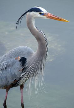Great Blue Heron - (photo by fail avenger)