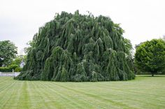 Image of 'A large weeping beech tree with hanging branches'