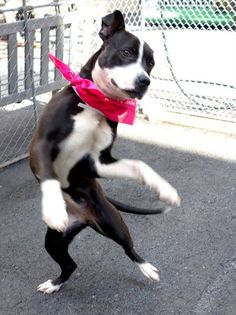 TO BE DESTROYED - WEDNESDAY - 4/23/14, URGENT - Manhattan Center   BELLA - A0996056   FEMALE, BLACK / WHITE, PIT BULL, 1 yr STRAY - STRAY WAIT, NO HOLD Reason STRAY  Intake condition NONE Intake Date 04/08/2014, From NY 10461, DueOut Date 04/11/2014  https://www.facebook.com/photo.php?fbid=784971241515757&set=a.617938651552351.1073741868.152876678058553&type=3&permPage=1