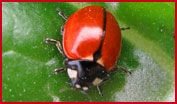 Coccinella Triasficata Subversa a subspecies of the Three-banded lady beetle