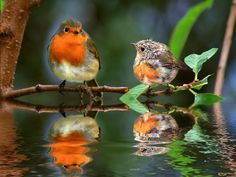 awesome photo of European Robins - mama and baby :)