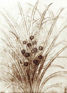 Leonardo Da Vinci's Rushes In Flower Photograph by Sheila Terry