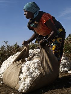 Harvesting cotton. Abu Asher, Sudan