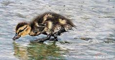 My duckling in softpastel on 50x25cm pastelmat.  www.portretinbeel... #wildlifedrawings #wildlifeartist #realism #animalportrait #animalart #wildlifeart #artistic_unity #softpastel #pastelpencils #realisticdrawings #carandache #animallovers #realisticdrawings #instadraw #instadrawing #artfeedr #artforlife