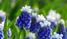 תוצאת תמונה עבור Muscari aka Grape Hyacinth