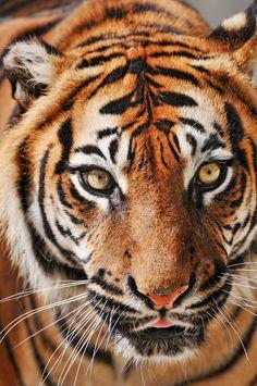 Sumatran Eyes  Photo by Tambako the Jaguar on Flickr