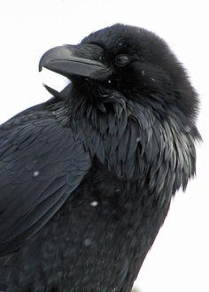 chaotic-corvids