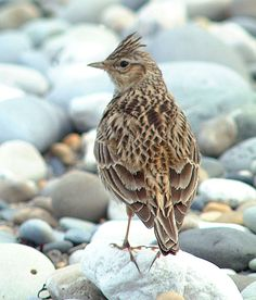 Skylark, I've heard but never seen