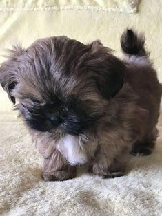 More About Fun Shih Tzu Puppies Grooming Shih Tzus, Shih Tzu Hund, Baby Shih Tzu, Shih Tzu Puppy, Puppies For Sale, Cute Puppies, Cute Dogs, Dogs And Puppies, Doggies