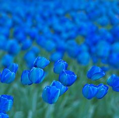 en el aire I know our flower is a fleur-de-lis/ iris, but I can't resist these beautiful blue tulips!I know our flower is a fleur-de-lis/ iris, but I can't resist these beautiful blue tulips! My Flower, Beautiful Flowers, Blue Tulips, Tulips Flowers, Love Blue, Color Blue, My Favorite Color, Shades Of Blue, Planting Flowers
