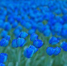 en el aire I know our flower is a fleur-de-lis/ iris, but I can't resist these beautiful blue tulips!I know our flower is a fleur-de-lis/ iris, but I can't resist these beautiful blue tulips! Blue Garden, Dream Garden, My Flower, Beautiful Flowers, Blue Tulips, Tulips Flowers, Love Blue, Color Blue, Shades Of Blue