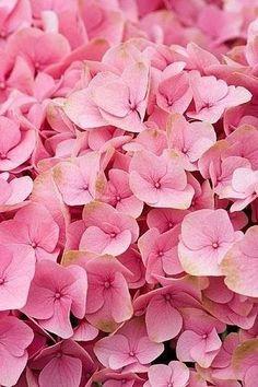 pink hydrangea petals ~ so pretty Hortensia Hydrangea, Pink Hydrangea, Hydrangeas, Hydrangea Macrophylla, My Flower, Pink Flowers, Beautiful Flowers, Pink Petals, Pink Love