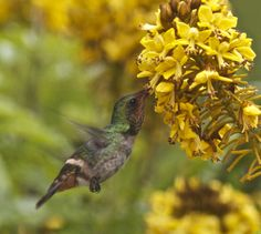 Frilled Coquette | Frilled Coquette (Lophornis magnificus) A female feeding on flowers.