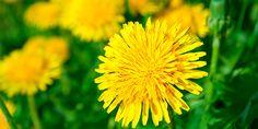 Dente-de-Leão - a coroa do sol - usos culinários e medicinais