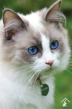 The ragdoll cat is a large breed of cat, best known for its easygoing and mellow nature. Wonderful Caring for a Ragdoll Cat Ideas. White Ragdoll Cat, Ragdoll Cat Breed, White Cat Breeds, Best Cat Breeds, Rare Cats, Cats And Kittens, Kitty Cats, Kittens Cutest, Cool Cats
