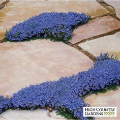 Blue Veronica oltensis, Thyme-leaf Speedwell Z 4-9 Bloom Late Sprg-Sum comes in a var. of hts, all easy, FS, morn. sun & afternoon shade, ave.WDS, deer resistant, drought tolerant, magnet.