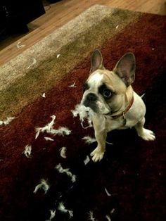 """What Bird?, I didn't see a Bird!"" Guilty French Bulldog."