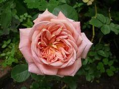 Historische Rosen 2010 - Seite 144 - Rund um die Rose - Mein schöner Garten online