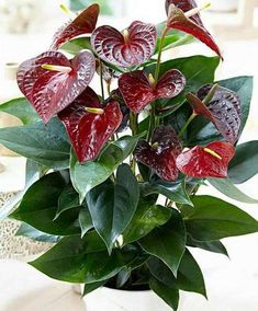 Anthurium Plant, Plants With Pink Flowers, Blooming Flowers, Orchid Plants, Foliage Plants, Anthurium, Cactus House Plants, Anthurium Flower, Flower Landscape