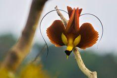 Papoea, Indonesië: een rode paradijsvogel (Paradisaea rubra) die een mannelijke paringsdans op e... [FOTO VAN DE DAG - april 2013]