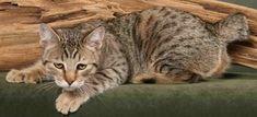 Pixiebob Cat Breed