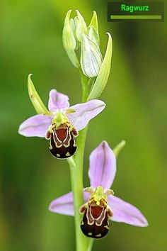 Bee Orchid (Ophrys apifera) The Bee Orchid is found throughout the South and East of England on calcareous (chalk and limestone) grassland, dunes and quarries. It is classed as rare in Wales and Ireland and is not found at all in Scotland. Orchid Images, Nature Images, Flower Art, Fun Facts, Wildlife, Flowers, Plants, Interesting Facts, Pictures