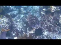 Trumpetfish, Spotted Trunkfish and Hawksbill Turtle