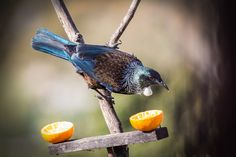 Finish the weekend off with some Tui photos for you. This bird was all sugared up it was like trying to catch a rocket. Nature Photography, Bird, Facebook, Birds, Nature Pictures, Wildlife Photography