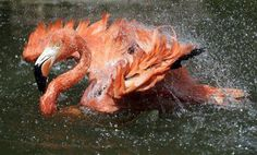 A Caribbean flamingo splashes in the pond on a hot day at the Stone Zoo in Stoneham, Mass., Monday, July 2, 2012. (AP Photo/Elise Amendola