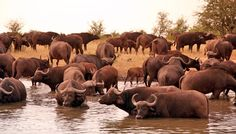 Botswana Chobe National Park. www.freespiritholiday.co.uk Chobe National Park, National Parks, Water Buffalo, Pretoria, Animals Beautiful, Mammals, South Africa, Hawaii, Beautiful Places