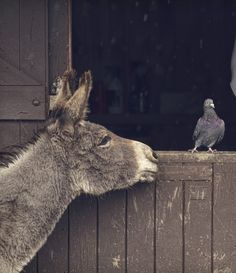 I love the subtle sidestep of the pigeon, and the donkey searching contact, Country Life.