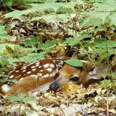 Camoflage- baby deer
